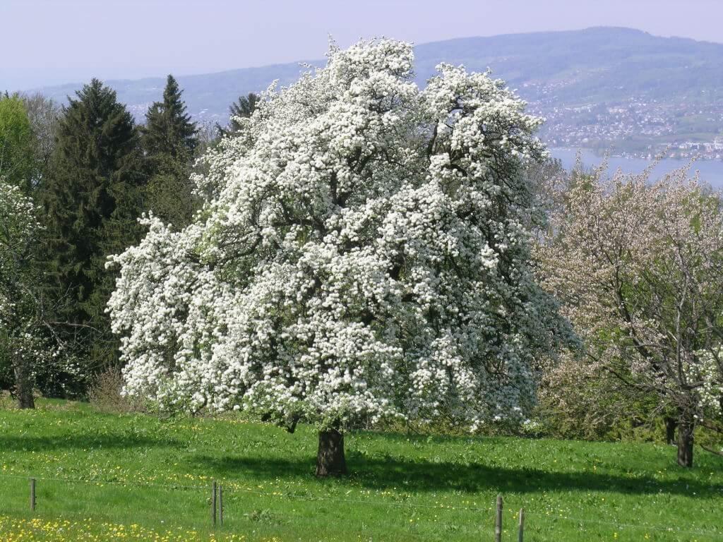 Hochstammobstbaum_bluehend