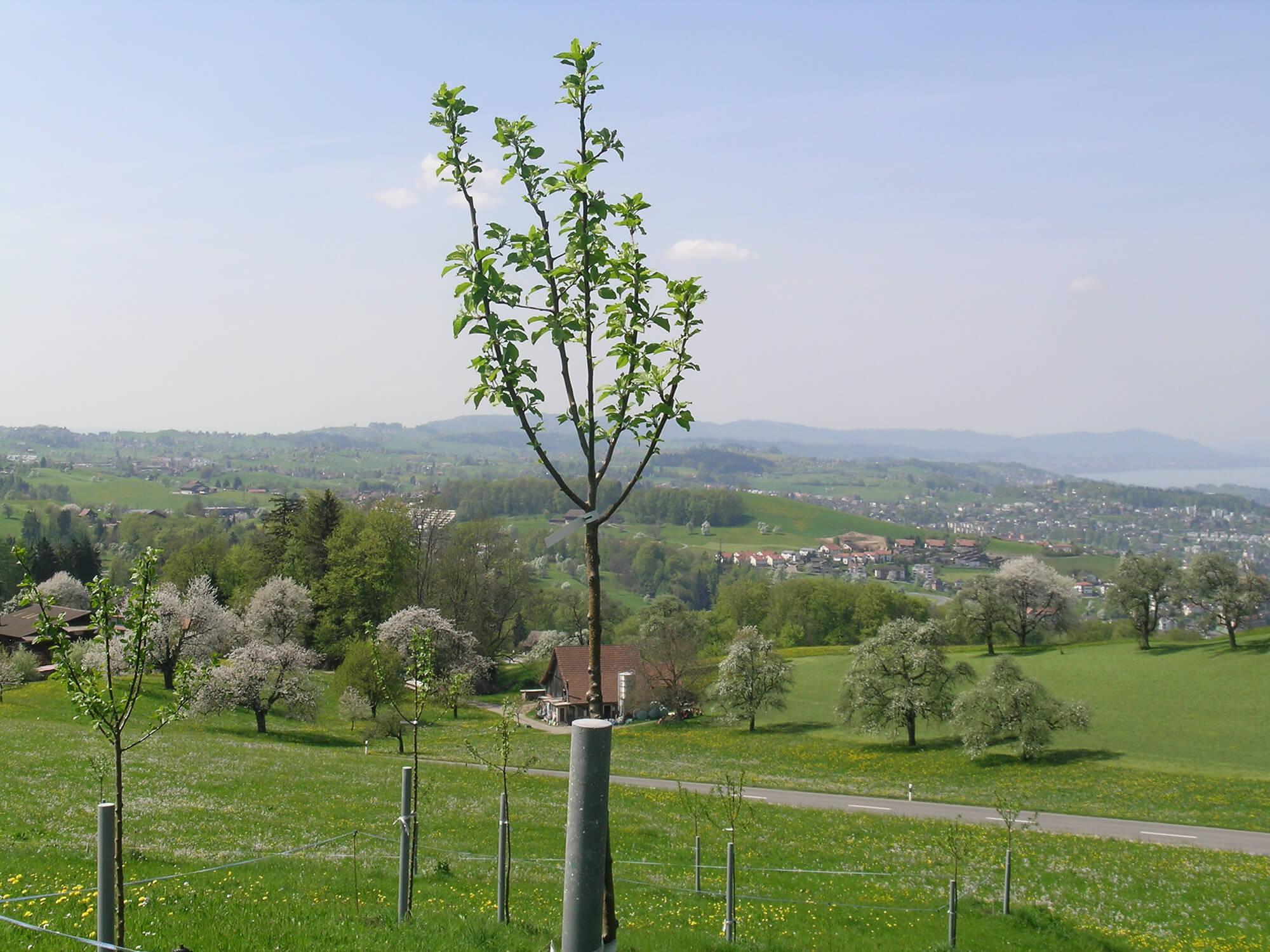 Junger_Hochstammobstbaum
