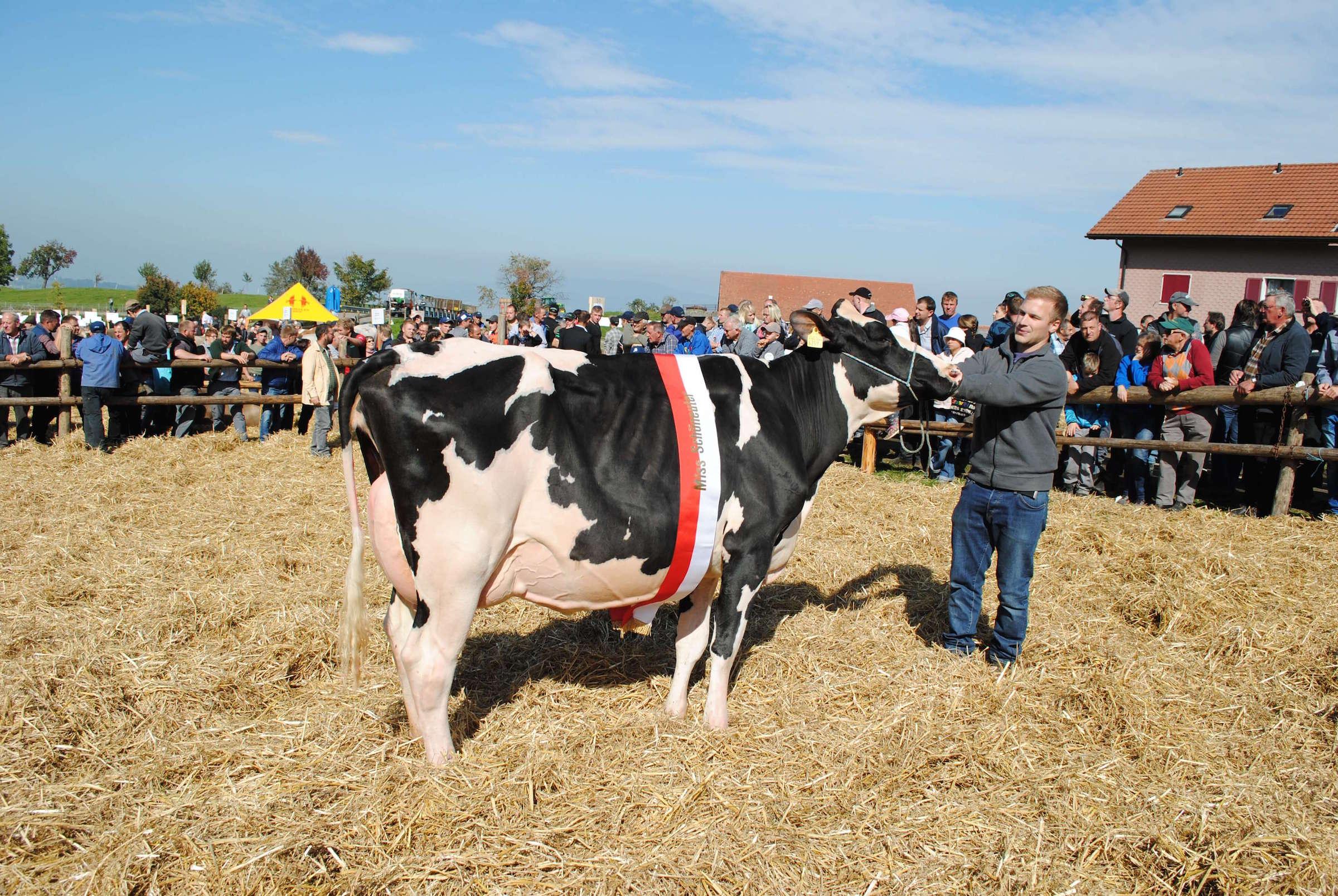 Schoeneuter juengere Kuehe Holstein, Jllusion, Reichmuth Baptist, Schwyz (gross)